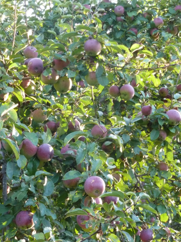 They say meditation retreats bear fruit--I was about to find out for myself.  (Apple tree at IMS.)